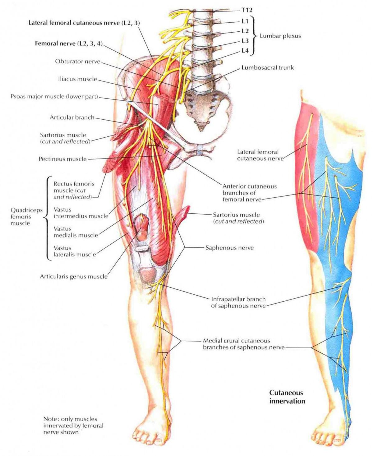 Sense organ diagram femur electrical drawing wiring diagram femoral nerve function anatomy and related conditions rh healthdiseases org internal organs diagram skin sense organ ccuart Image collections