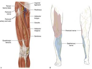 Pictures of Femoral Nerve