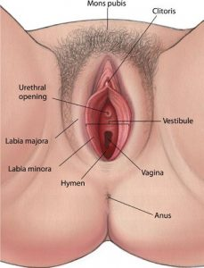 Picture of Labia Minora