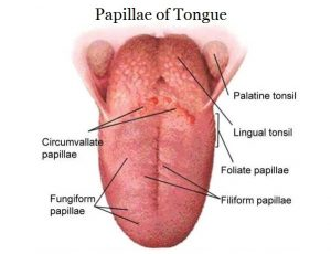 Picture of Circumvallate Papillae