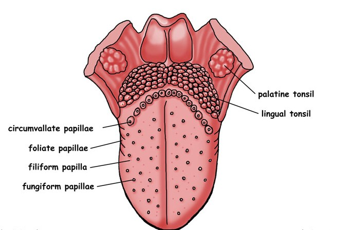 circumvallate papillae location function anatomy and